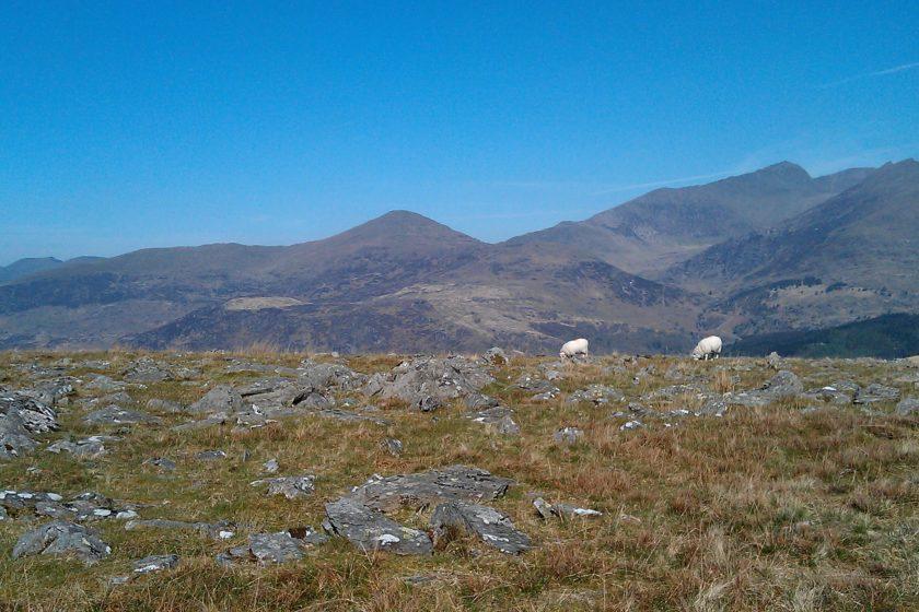 Sheep by Llyn Llagi