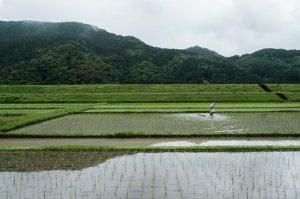 Hongu rice field